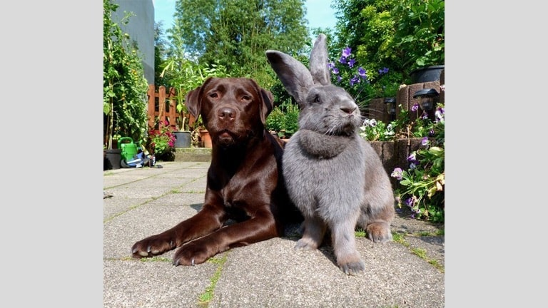 how big does the flemish giant rabbit get